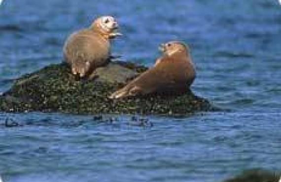 Phoques communs au Parc National du Bic