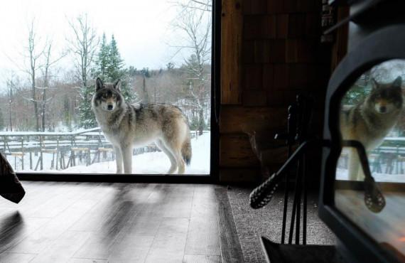 cabane-des-loups-at-parc-omega-31.jpg