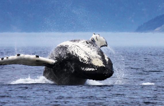 Observation des baleines en bateau à Tadoussac