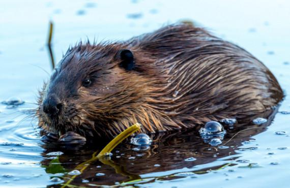 Observation des castor au Canada