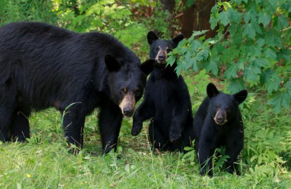 Safari-photo à l'ours noir au Québec