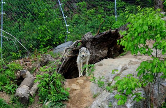 Observation des loups au parc Oméga