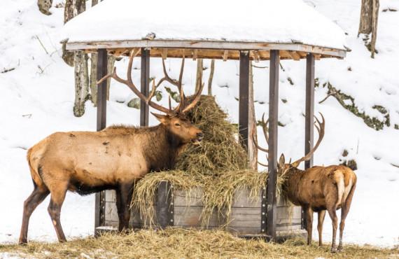 Wapitis en hiver au Québec