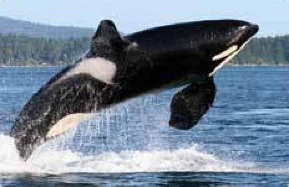 Safari aux orques