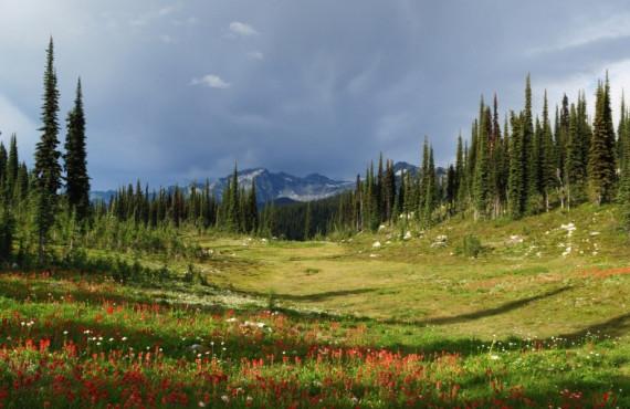 Fleurs au mont Revelstoke Canada