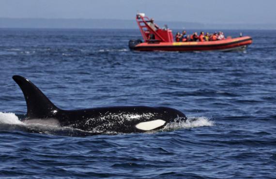 Baleines à Tadousac