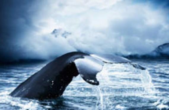 Tadoussac, la Mecque mondiale pour l'observation des baleines