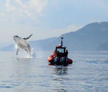 Jumping humpback whale, Tadoussac