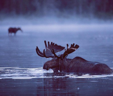 Moose in Gaspesie National Park