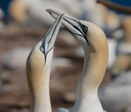 Northern Gannet on Île Bonaventure