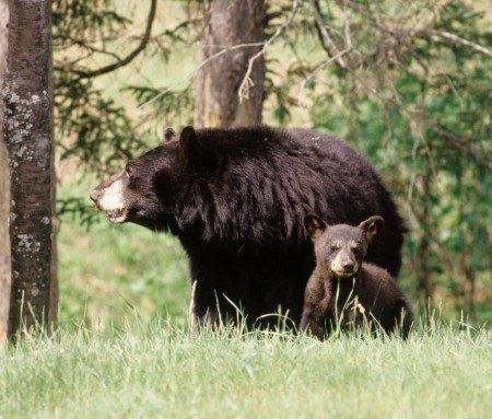 Black bear photo safari, Charlevoix