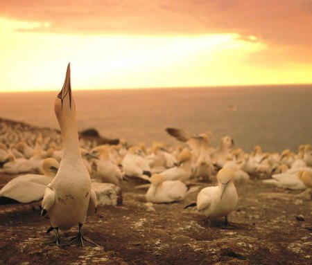 Northern Gannet colony on Île Bonaventure