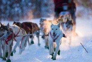 Traîneau à chien en forêt