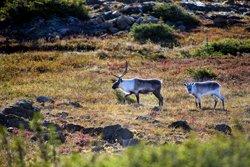 Randonnée avec les caribous