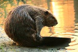 Observation du castor