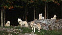 Parc Oméga - Loups Arctique