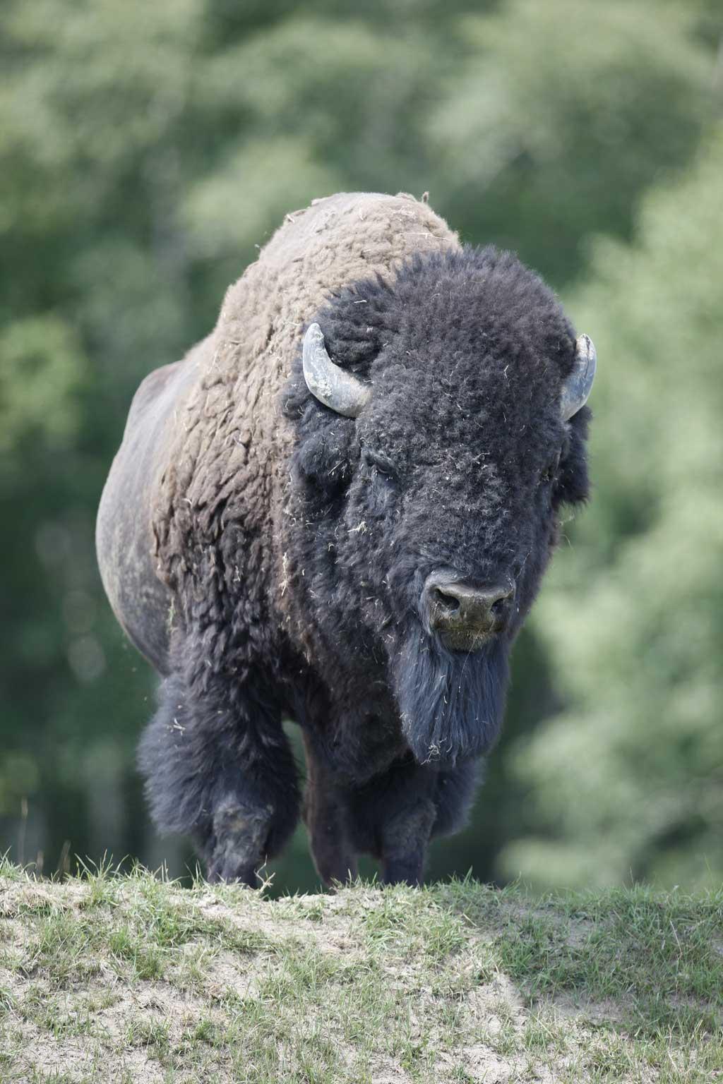 6-bison-zoo-st-felicien.jpg