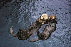 Loutres de mer - Aquarium de Vancouver