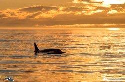 Safari aux orques - Victoria, BC