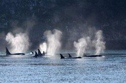 Groupe d'orques à Telegraph Cove