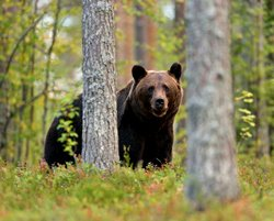 Safari à l'ours noir - Pacific Rim