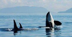 Safari aux orques - Victoria