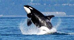 Safari aux orques en bateau - Victoria