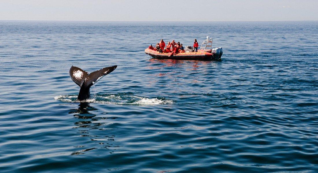 Observation des baleines en zodiac au Québec