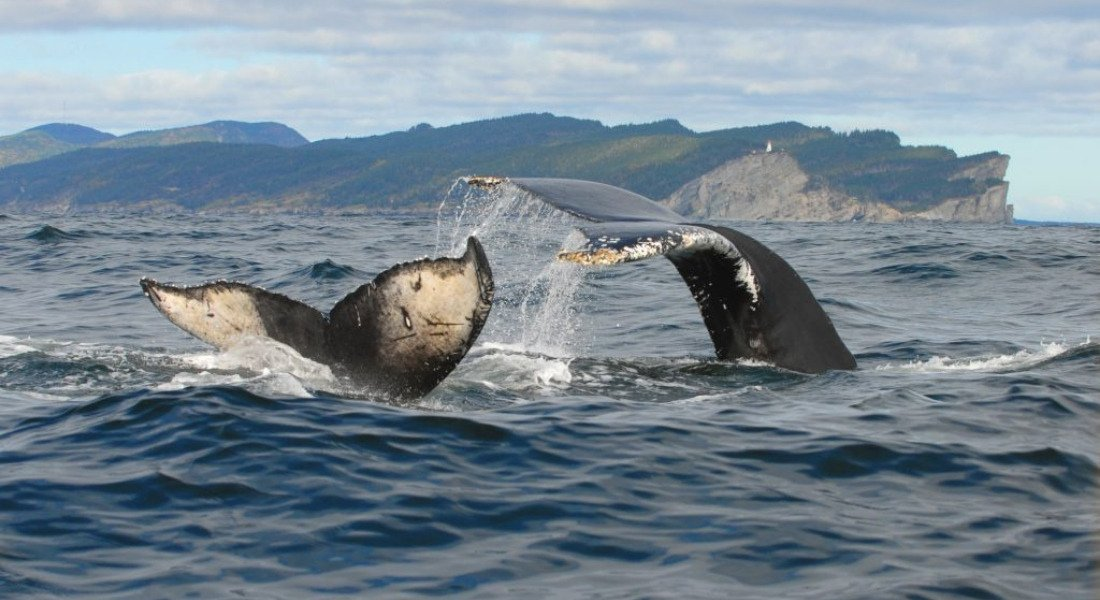 Safari aux baleines en Gaspésie