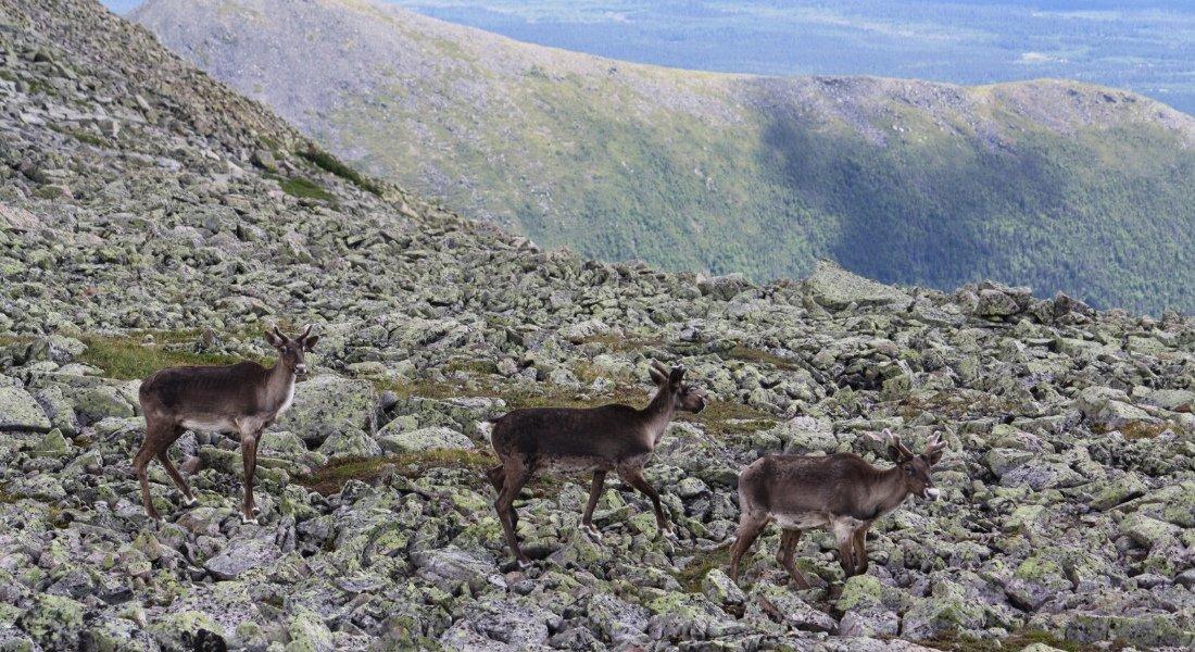 observation caribous québec
