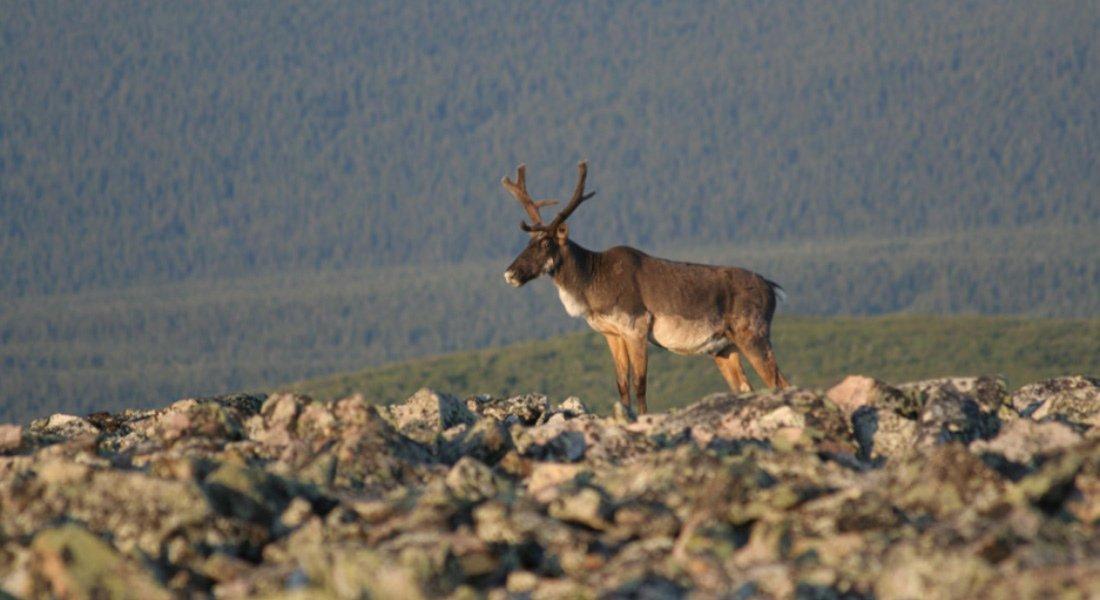 Observation des caribous en Gaspésie