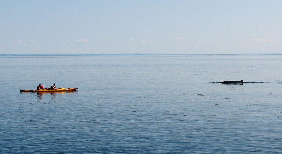 Observation des baleines en kayak à Tadoussac