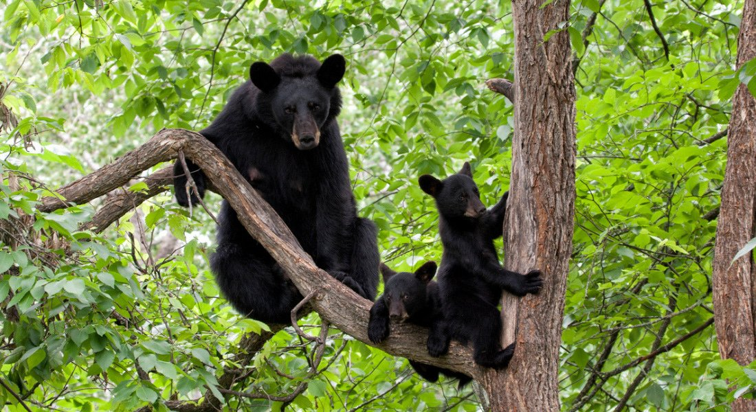 Famille d'ours noirs au Québec