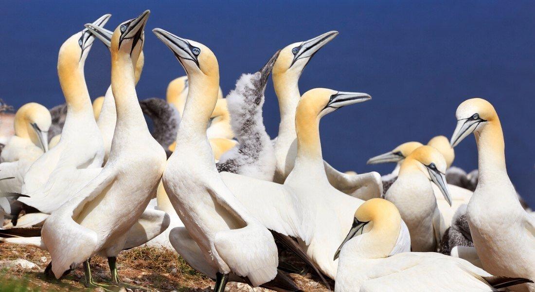 Randonnée à l'île Bonaventure, colonie de fous de bassan