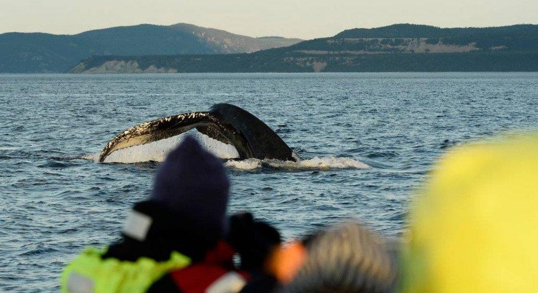 Observation des baleines aux Escoumins