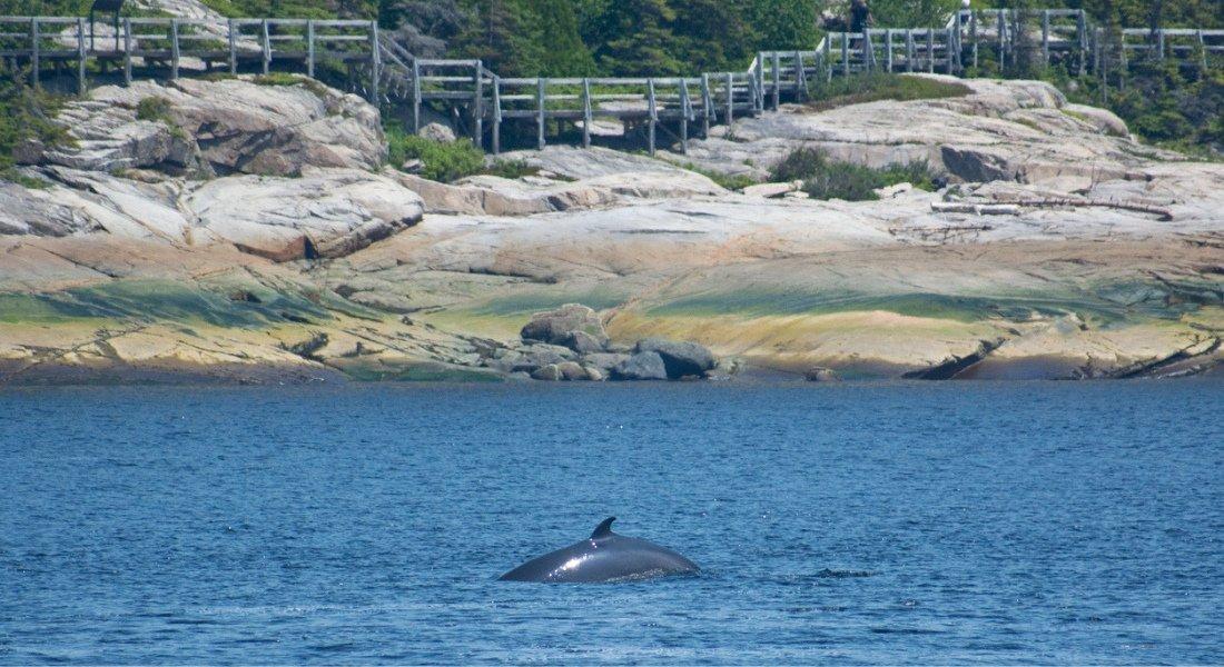 Observation terrestre des baleines à Tadoussac