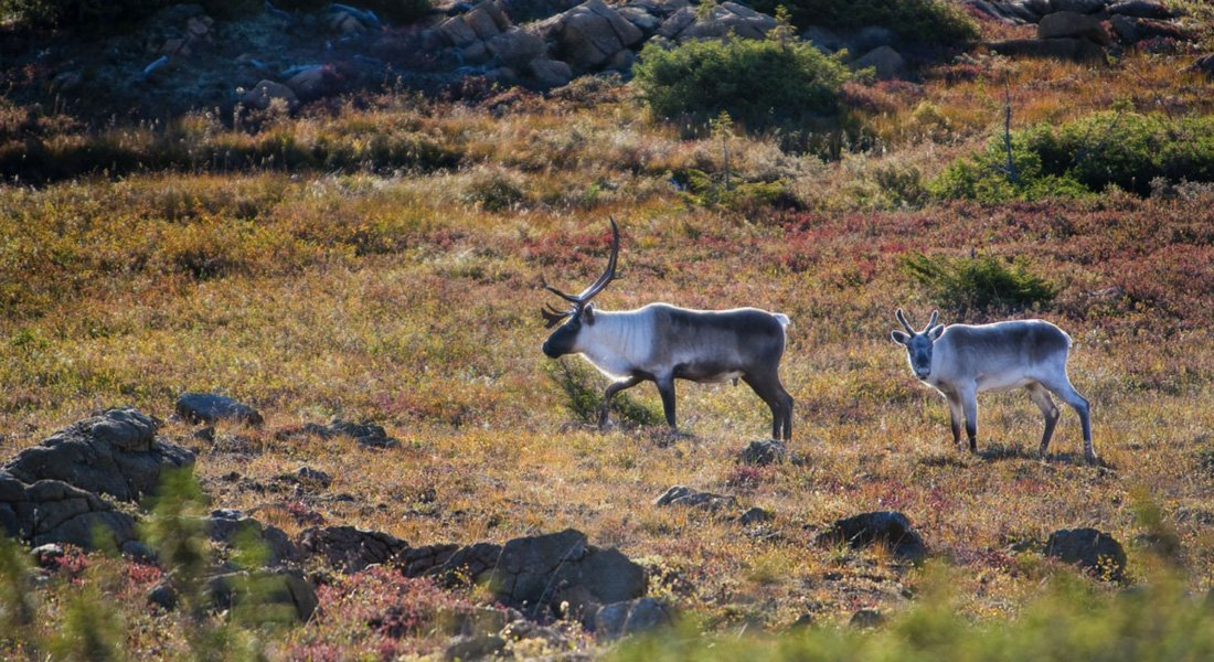 Caribous quebec