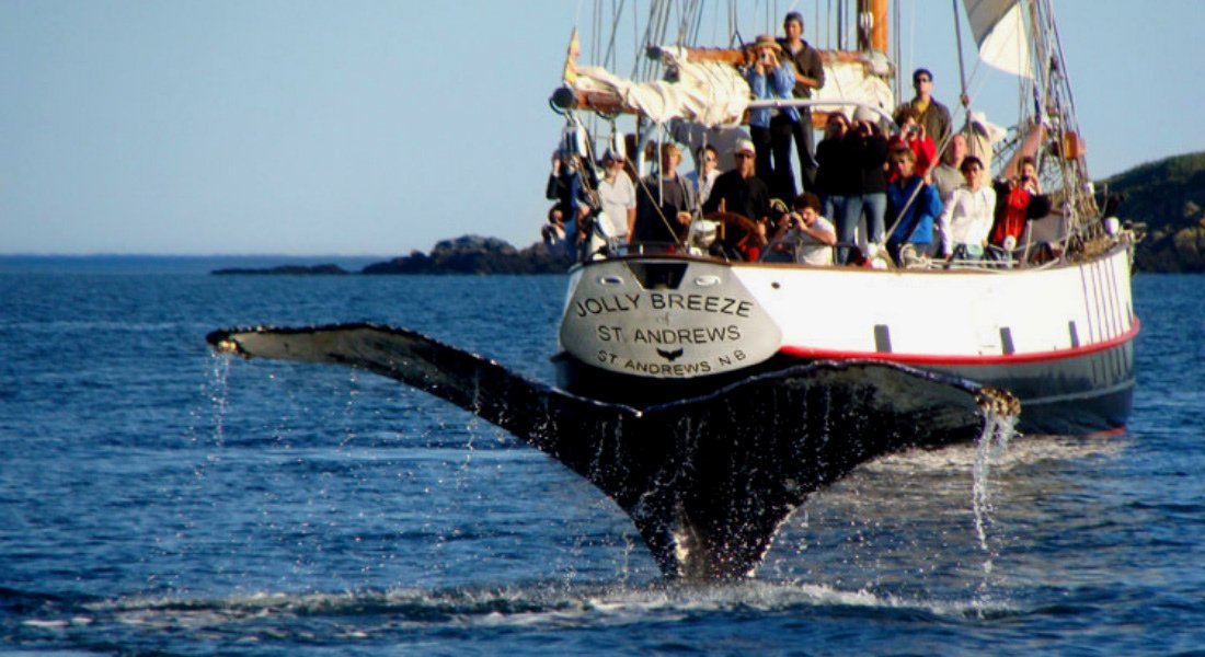 Whale watching in St. Andrews