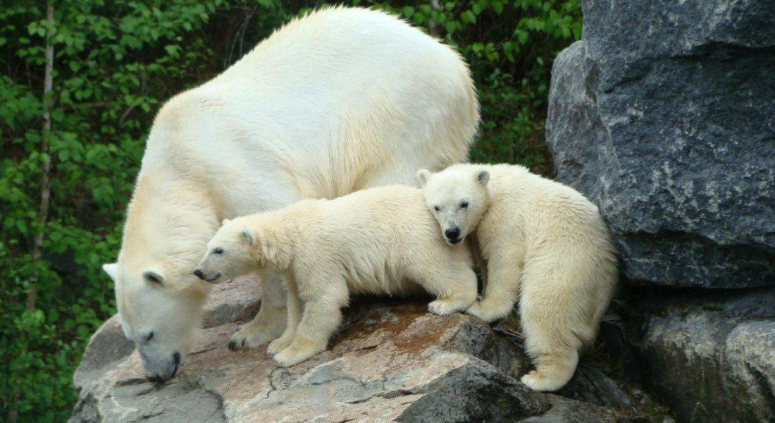 Ours blancs au zoo sauvage de St-Félicien