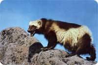 observation faune carcajou