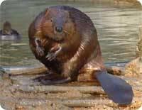observation faune castor
