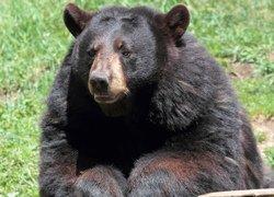 Black Bear in Omega Park, Montebello, Outaouais