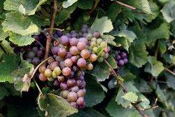 Sandbanks Region Vineyard