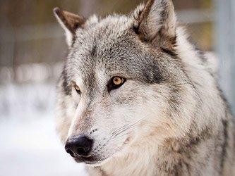 Rencontre avec le loup artique