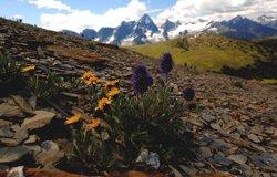 Revelstoke - fleurs subalpines