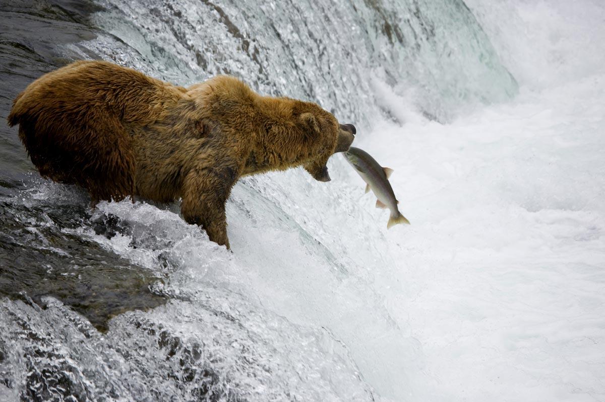 Observation du Grizzly à Fish Creek
