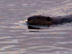 Pourvoirie Valga - Observation du castor