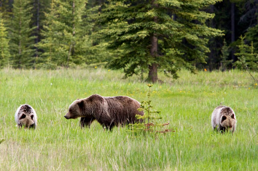 Camping du Lac Louise - Ours grizzly