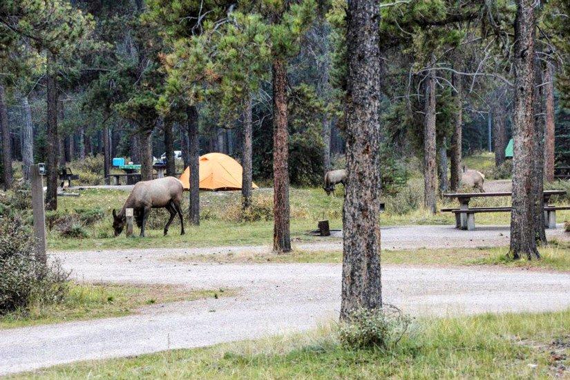 Camping du Mont Whistlers - Wapiti