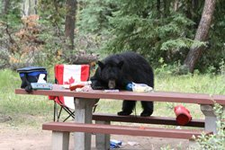 Camping du Mont Whistlers - Ours noir